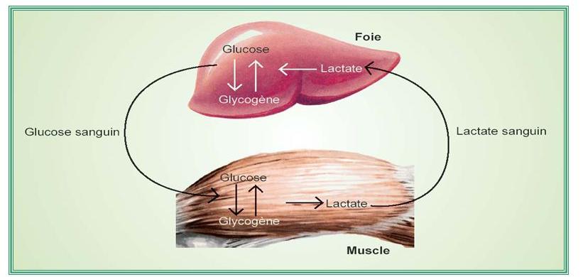 L'acide lactique donne-t-elle vraiment des crampes ?   Fitness coaching