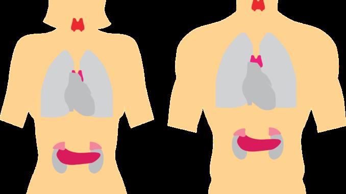systeme endocrinien